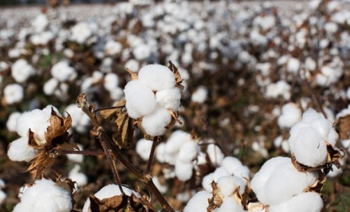The Swiss newspaper: ISIS terrorists make profit from the sales of cotton through Turkey
