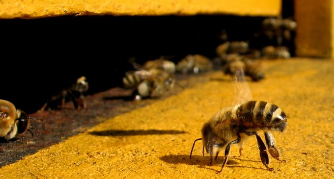 New Study Finds a Popular Chemical is Harming Honey Bees