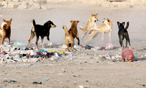 Yemen's Rabid Dogs Eat the Dead and Bite the Living, with Treatment Often Out of Reach