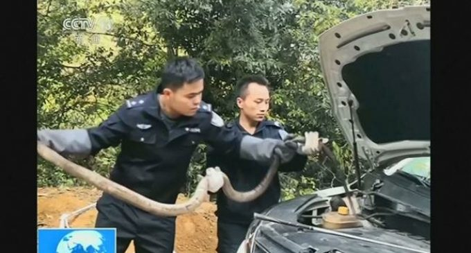 2.7-meter-long King Cobra pulled from car's engine in China