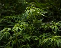 Mexico's Imminent Marijuana Legalization Law Leaves US Lawmakers Holding the Joint